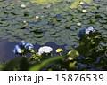 蓮 紫陽花 池の写真 15876539