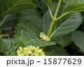 アジサイの葉にアマガエル 鳴く 15877629