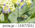 アジサイの葉にアマガエル 15877631