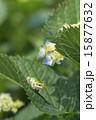 アジサイの葉にアマガエル 15877632