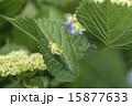 アジサイの葉にアマガエル 15877633