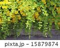 リシマキア・ヌンムラリア(オーレア) 15879874
