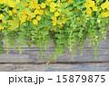 リシマキア・ヌンムラリア(オーレア) 15879875