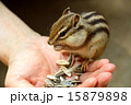 掌からえさを食べるシマリス 15879898