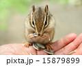 掌からえさを食べるシマリス 15879899
