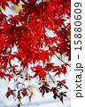 秋の赤い紅葉 もみじ 15880609