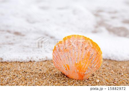 ヒオウギ貝の黄色い貝殻 15882972