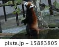 立ち上がる レッサーパンダ 動物園の写真 15883805