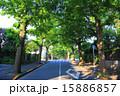田園調布の銀杏並木(左側) 夏 15886857