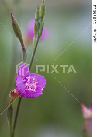 河原に咲く春の野の花 ユウゲショウ 15886922