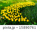 昭和記念公園 チューリップ 花の写真 15890761