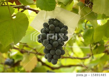 ブドウ園ー5 15891485