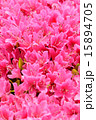 ピンク 満開 花の写真 15894705
