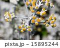 白妙菊 ダスティーミラー キク科の写真 15895244