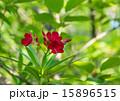 夾竹桃 花 赤の写真 15896515