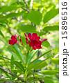 夾竹桃 花 赤の写真 15896516