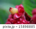 コリトプレクツス・スペキオスス イワタバコ科 植物の写真 15898885