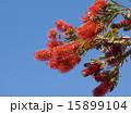 咲く ブラシノキ 花穂の写真 15899104