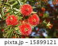ブラシノキ 咲く 花穂の写真 15899121