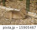 カピバラ 動物園 哺乳類の写真 15905467