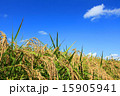 稲 稲穂 青空の写真 15905941