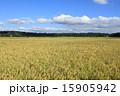 稲穂 青空 稲の写真 15905942