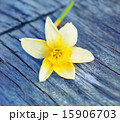 Picture Spring Flower narcissus daffodils 15906703