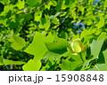 ユリノキ 植物 花の写真 15908848