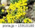 セイヨウアブラナ 花 アップの写真 15910180