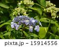 花 アジサイ ガクアジサイの写真 15914556