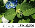 テントウムシ つぼみ 紫陽花の写真 15916859