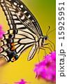 アゲハ蝶 虫 昆虫の写真 15925951