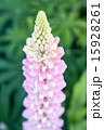 ピンクのルピナス 15928261