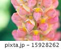 ピンクのルピナス 15928262