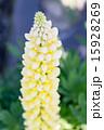 黄色いルピナス 15928269
