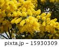 銀葉アカシア ギンヨウアカシア ミモザアカシアの写真 15930309