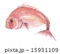鯛 タイ 15931109