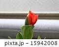 チューリップ 15942008