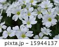 シロミミナグサ 15944137