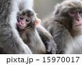 日本猿 赤ちゃん 動物の写真 15970017