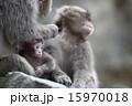 日本猿 赤ちゃん 動物の写真 15970018