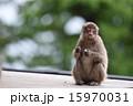 陸上動物 日本猿 動物の写真 15970031