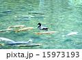 池の鯉 15973193