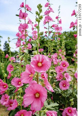 タチアオイ 立葵 タチアオイの花 15977299