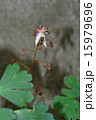 ユキノシタ ホソヒラタアブ 虫の写真 15979696