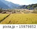 収穫を待つ田んぼとはざ掛け風景 15979852