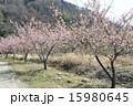 早春に咲く河津桜 15980645