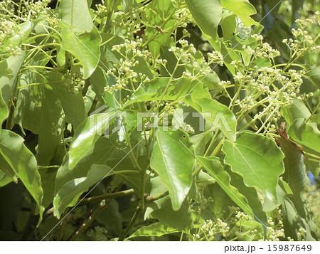 小さなクリーム色の花はクスノキの花 15987649