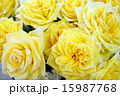 黄色いバラ 15987768