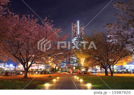 汽車道から眺める夜桜とランドマークタワー 15987920